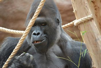 Gorilla on rope clibbing in park - image #333197 gratis