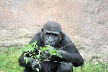 Gorilla eats green in park - Free image #333207