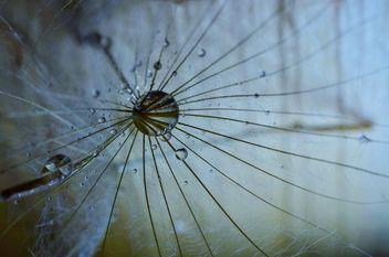 Dandelion macro - бесплатный image #333297