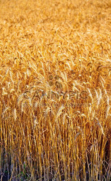 wheat field - Free image #334797