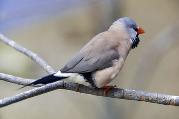 Shaft-Tailed Finch - image gratuit #335167