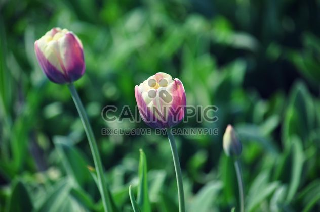 Tulipanes de color rosa-blanco - image #335187 gratis