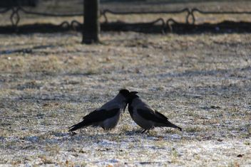 Couple of crows on ground - image gratuit #337447