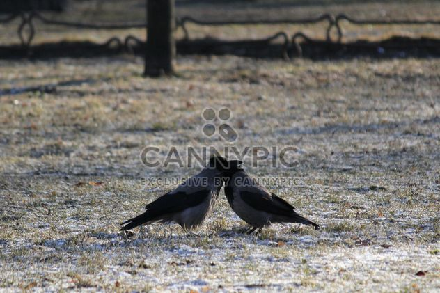 Couple of crows on ground - Free image #337447