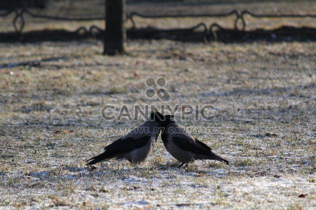Couple de corneilles sur terrain - image gratuit(e) #337447