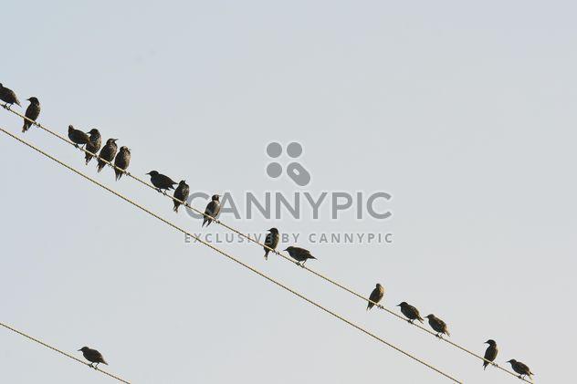 Estorninhos em fios elétricos - Free image #337487