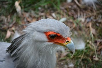 Portrait of secretary bird - Free image #337497