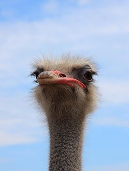 Portrait of ostrich bird - image #337507 gratis