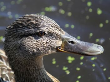 Closeup portrait of duck - image #337557 gratis