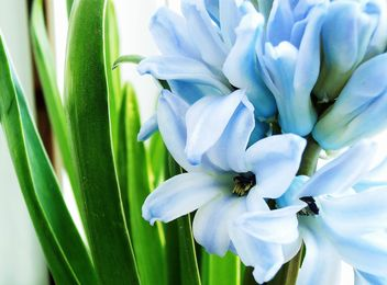 Blue hyacinth flower - image #337937 gratis
