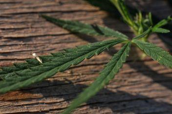 Closeup of cannabis leaf - Free image #338267