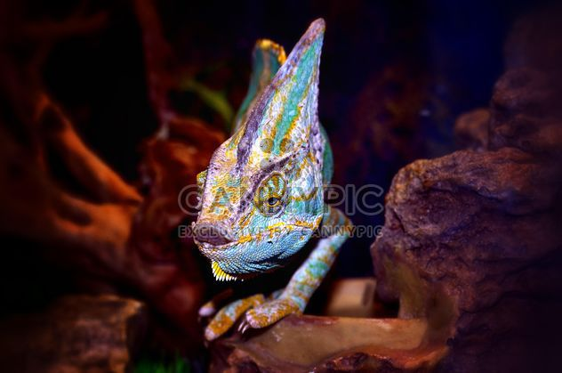 Portrait of blue chameleon - Free image #338317