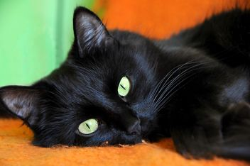 Portrait of black cat - Free image #339207