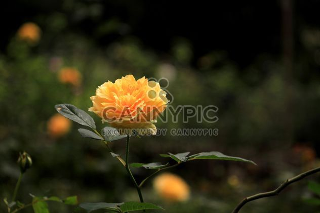 Yellow rose in garden - Free image #339237