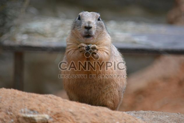 Cute prairie dog - Free image #341297