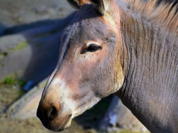 Portrait of brown donkey - image gratuit #341317