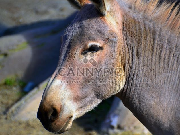 Портрет коричневый осла - бесплатный image #341317
