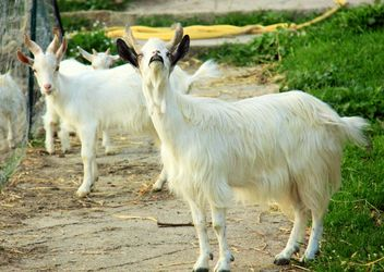 White goats in countryside - бесплатный image #341327