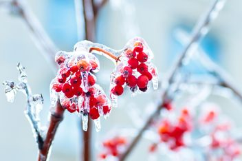 Rowan berries covered with ice - бесплатный image #342897