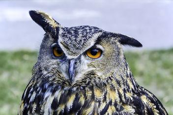 Eurasian Owl Portrait - image gratuit #343277