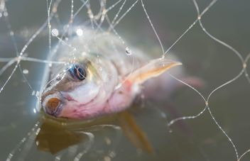 A fish in net - Free image #343567