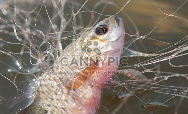 A fish in net - Free image #343577
