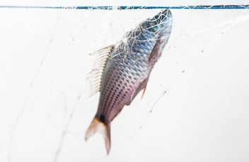A fish in net - image gratuit(e) #343587