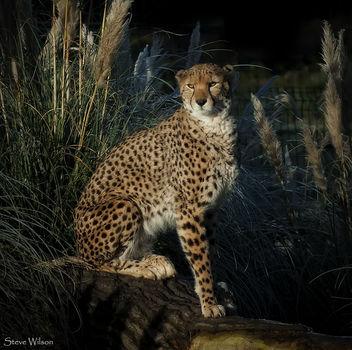 Posing Cheetah - Kostenloses image #344157