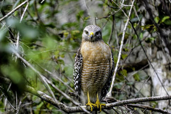 Cooper's Hawk - Kostenloses image #344497