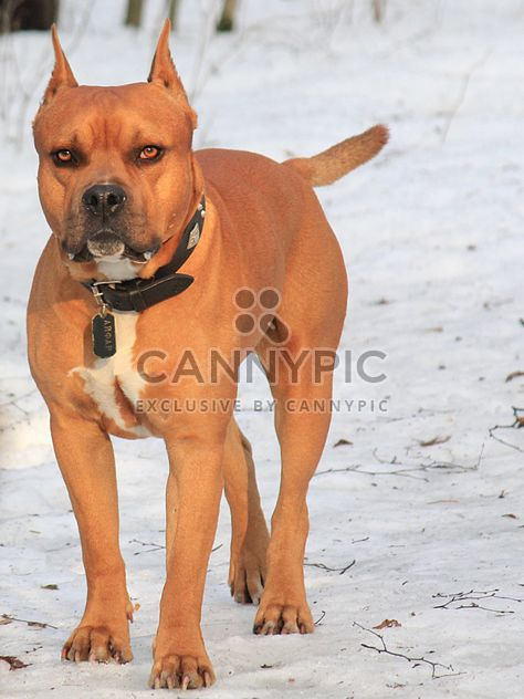 American Pit Bull Terrier on snow - Kostenloses image #344637