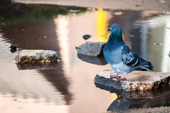 Grey pigeon on stone in water - image #345877 gratis