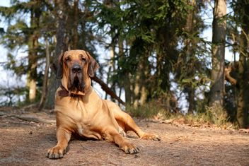Big dog resting on ground in forest - бесплатный image #346177