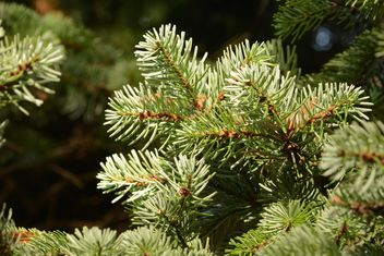 Closeup of green spruce branches - Free image #348427