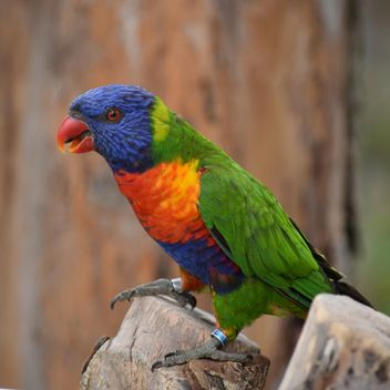 Tropical rainbow lorikeet parrot - бесплатный image #348447