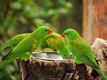 Group of green lorikeet parrots - image #348457 gratis