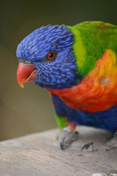 Tropical rainbow lorikeet parrot - бесплатный image #348477