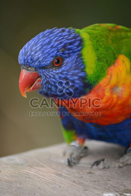 Tropical rainbow lorikeet parrot - Free image #348477