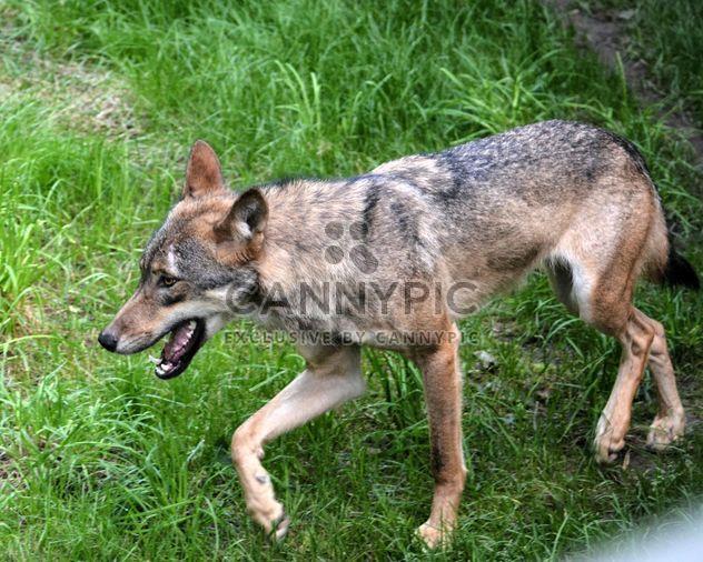 Серый волк (Canis lupus) на зеленой траве - бесплатный image #348487