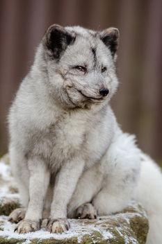 Arctic Fox - image gratuit #348547
