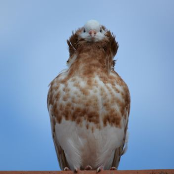 Portrait of brown dove against blue sky - image gratuit #348567