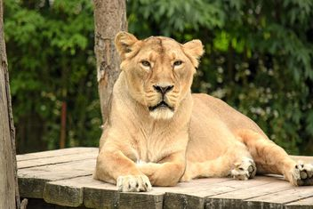 Sad lioness resting in zoo - бесплатный image #348587
