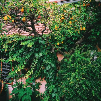 Pear tree and ivy on wall of house - бесплатный image #348647