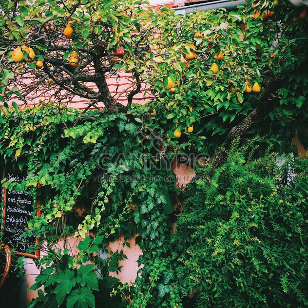 Pear tree and ivy on wall of house - Free image #348647