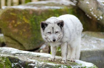 Arctic Fox - image #349237 gratis