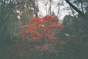 The Red Tree - Free image #350927