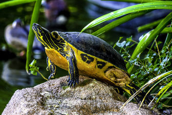 Turtle in the Sun - Free image #350967