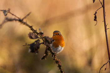 Robin on a Branch - image #351457 gratis