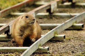 Prairie Dog - image #355537 gratis