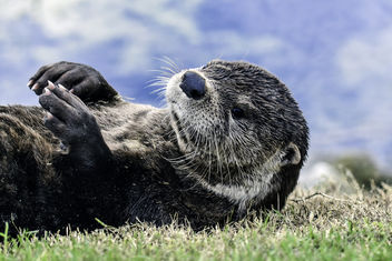 Otter Sunbathing - Free image #355817