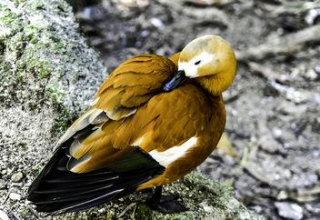 Ruddy Duck Preening - image gratuit #356457